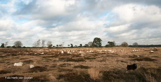 Drents-Friese Wold schaapskudde Holtingerveld