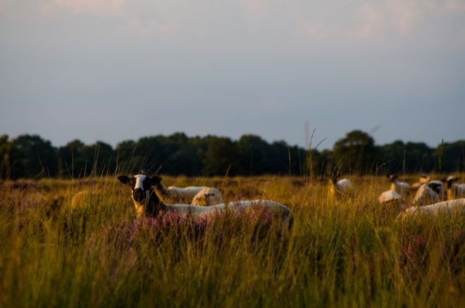 Doldersummerveld ter hoogte van de uitkijktoren schapen fotograaf Chris Soellaart