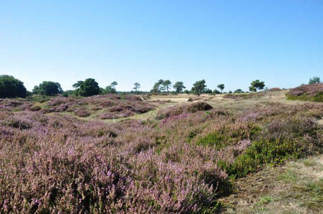 Heide bij Oude Willem fotograaf Henk Jansen