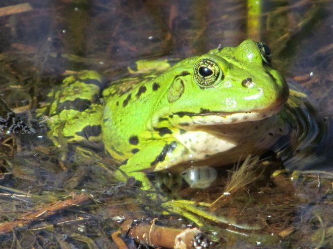 Groene kikker fotograaf Julia van Vliet van de End