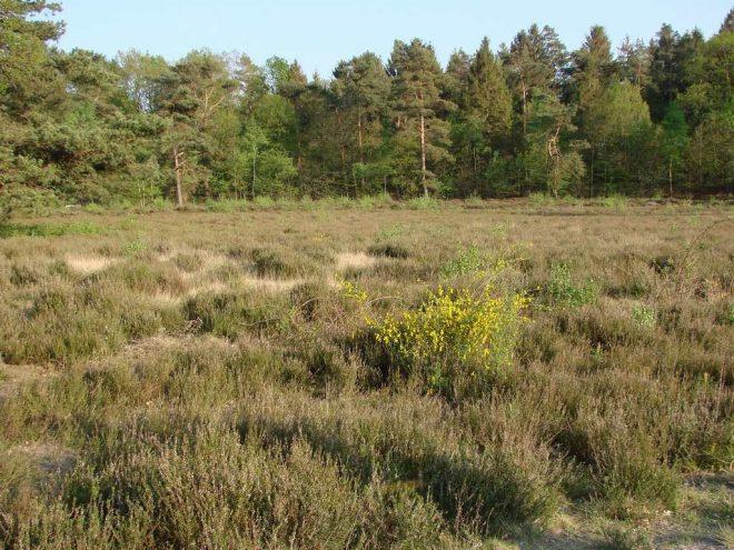 Heide met brem en bomen op achtergrond fotograaf helmut pagels