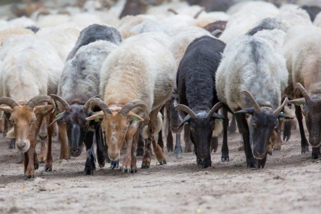 Kudde drentse heideschapen fotograaf Henk de Vos