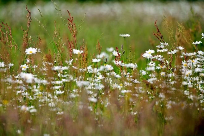 Margrietjes tussen bloeiend gras fotograaf Henk de Vos