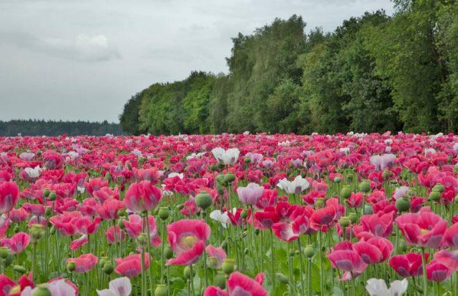 Papaverveld Aan De Bosweg Hoogersmilde Fotograaf Hendrik Vos
