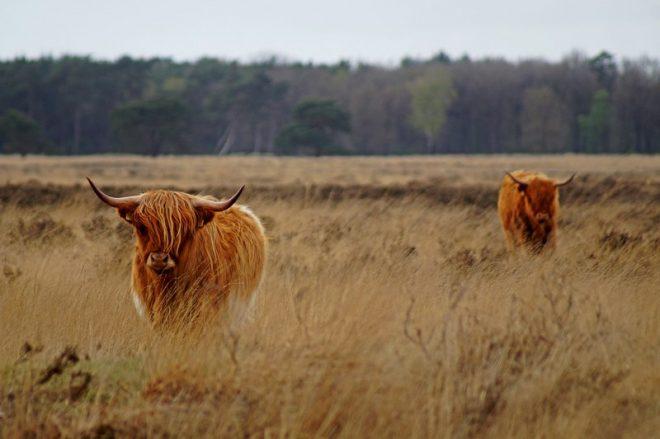 Schotse Hooglanders Doldersummerveld Fotograaf Elfriede De Jonge