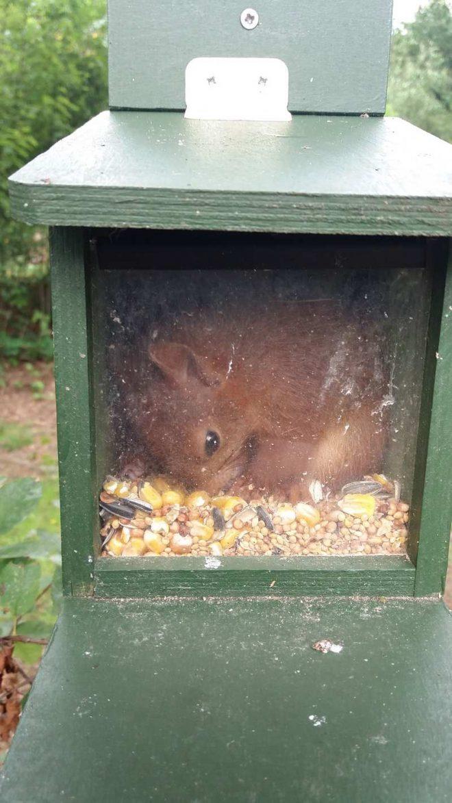 Eekhoorn slapen in voederkastje fotograaf Ingrid Kienstra
