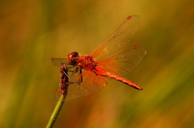 Geelvlekheidelibel close-up fotograaf Karel de Vries