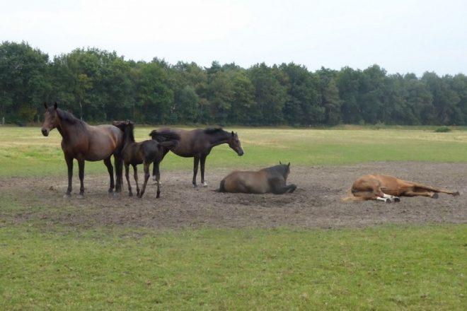 Paarden In Het Zand Staand En Liggend Fotograaf Jan Van Es