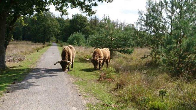 Fotograaf Janny Jousma Schotse Hooglanders Op De Weg