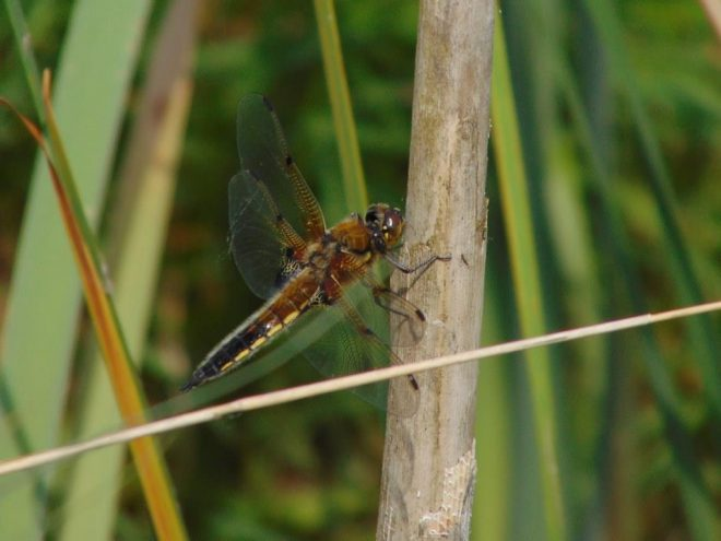 Fotograaf Jenny Boonstra Netvleugelige Insect
