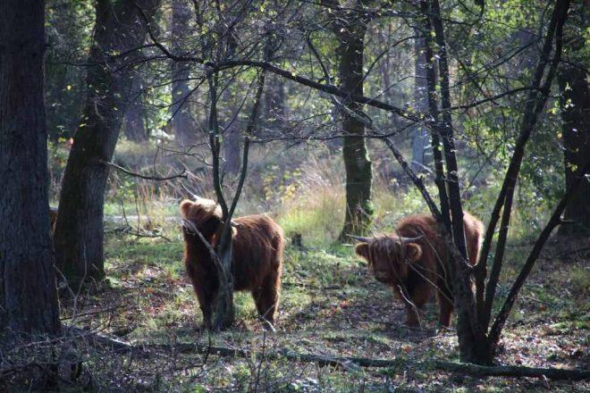 Fotograaf Jenny Boonstra Schotse Hooglander Kalf