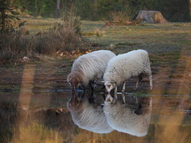 Drinkende schapen op Aekingerzand fotograaf Pauliena Kroezen