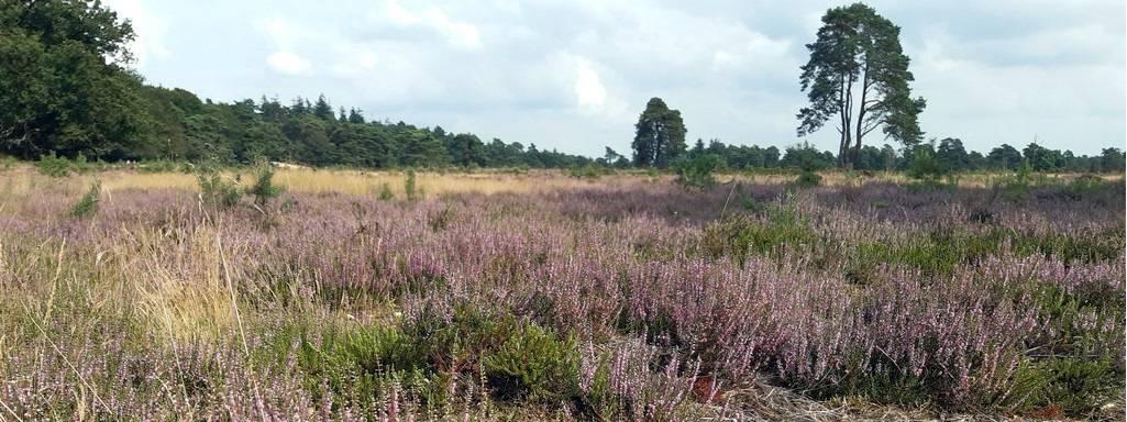 Drents Friese Wold Bloeiende Heide